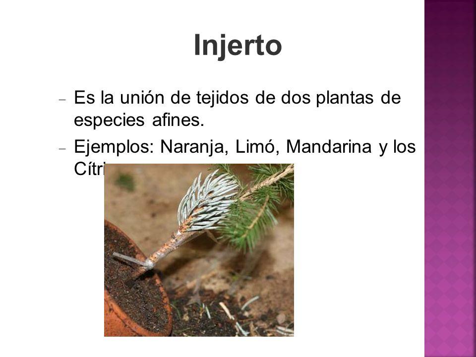 Injerto Es la unión de tejidos de dos plantas de especies afines. Ejemplos: Naranja, Limó, Mandarina y los Cítricos.