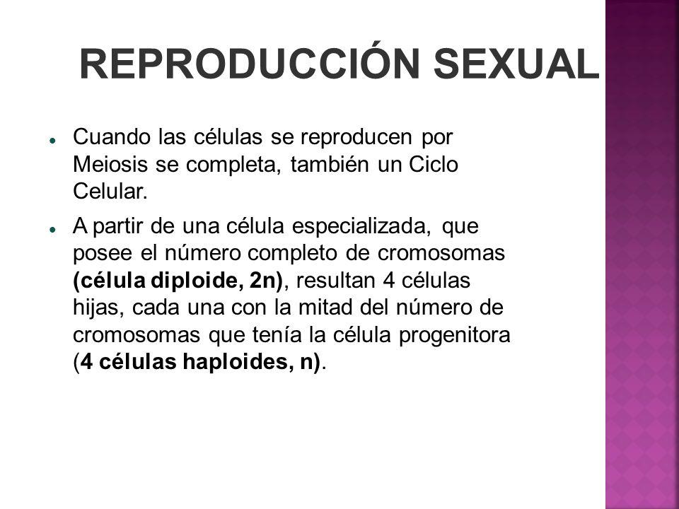 REPRODUCCIÓN SEXUAL Cuando las células se reproducen por Meiosis se completa, también un Ciclo Celular. A partir de una célula especializada, que pose