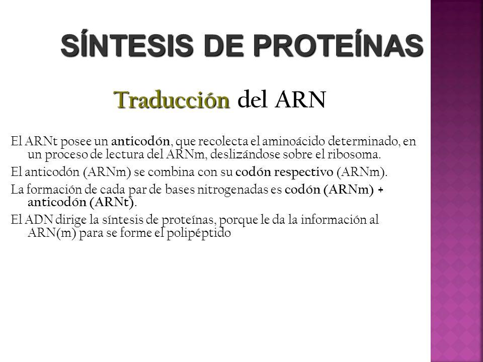 SÍNTESIS DE PROTEÍNAS Traducción del ARN El ARNt posee un anticodón, que recolecta el aminoácido determinado, en un proceso de lectura del ARNm, desli