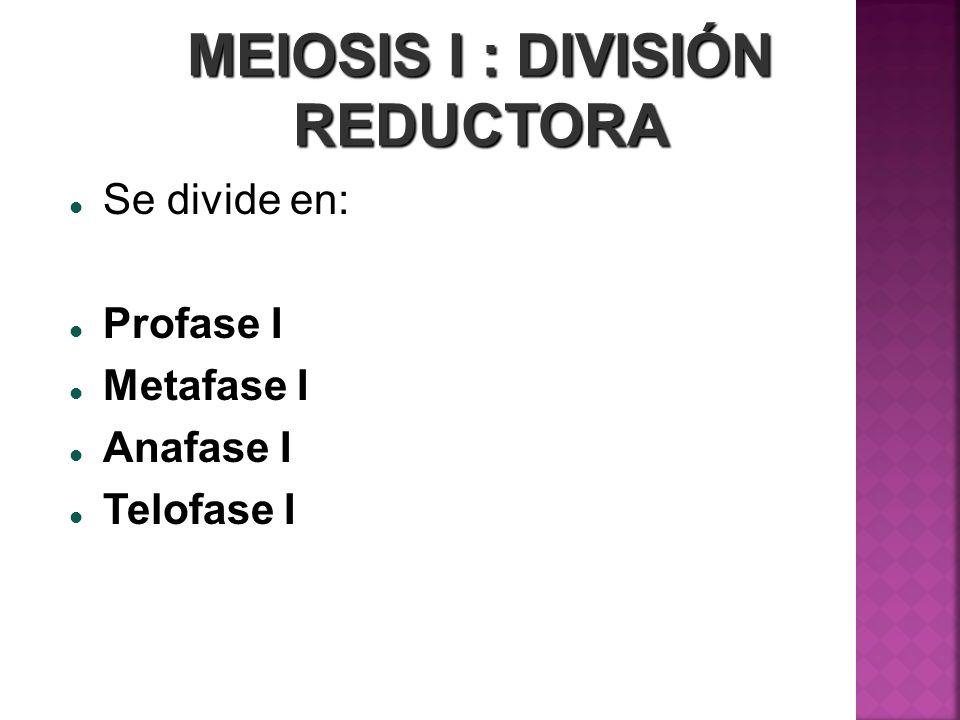 MEIOSIS I : DIVISIÓN REDUCTORA Se divide en: Profase I Profase I Metafase I Metafase I Anafase I Anafase I Telofase I