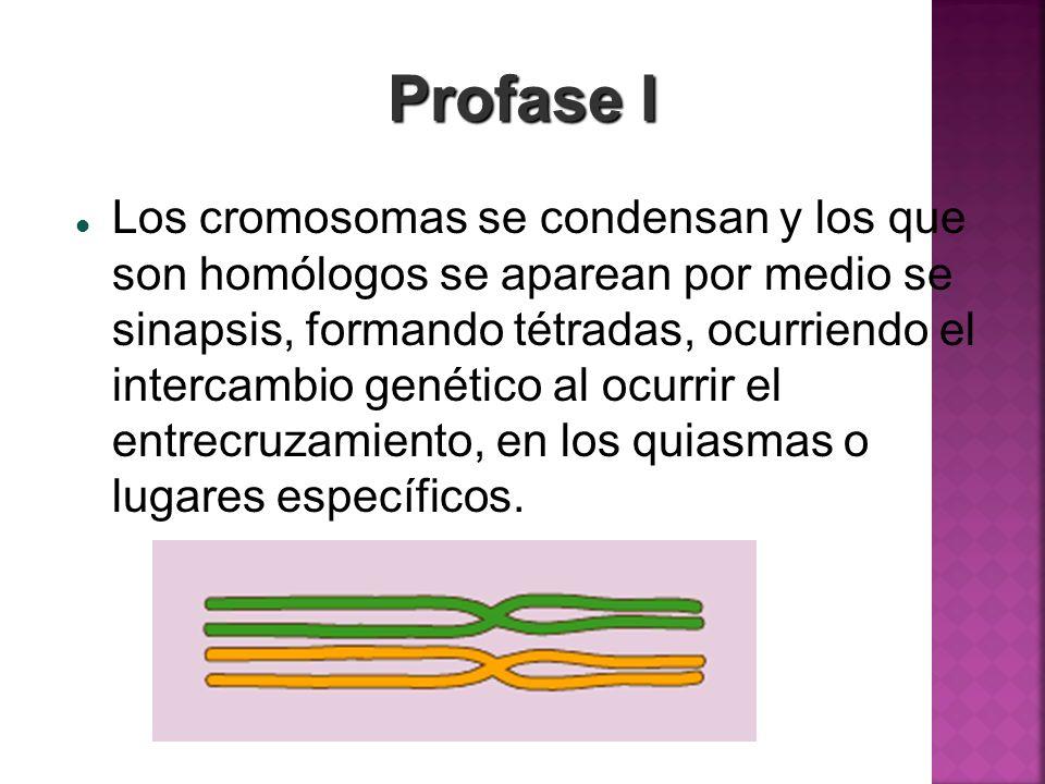 Profase I Los cromosomas se condensan y los que son homólogos se aparean por medio se sinapsis, formando tétradas, ocurriendo el intercambio genético