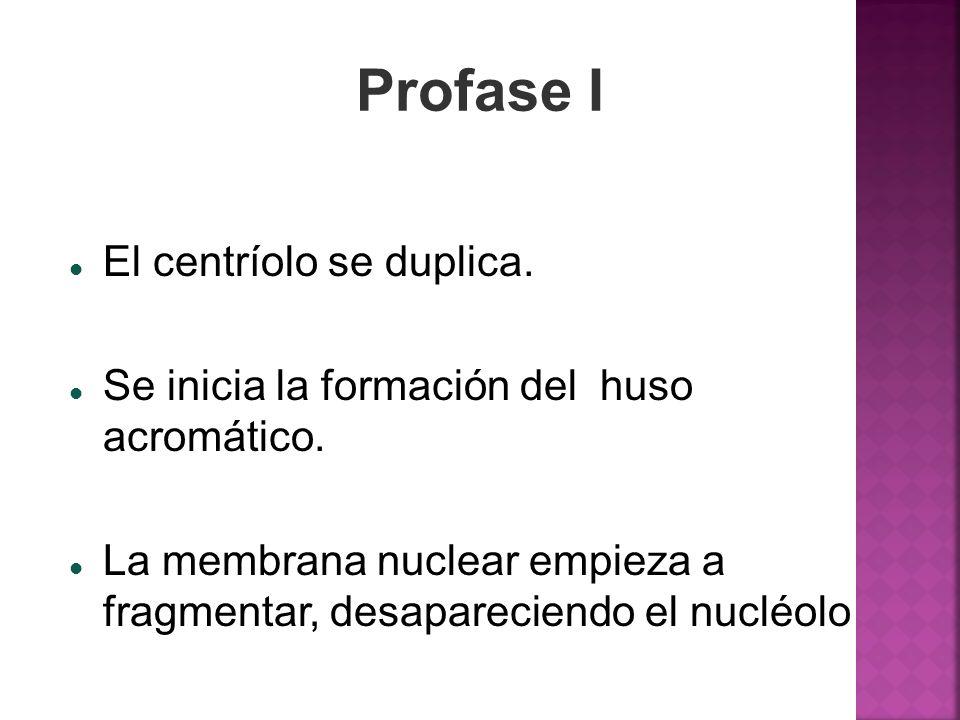 Profase I El centríolo se duplica. Se inicia la formación del huso acromático. La membrana nuclear empieza a fragmentar, desapareciendo el nucléolo