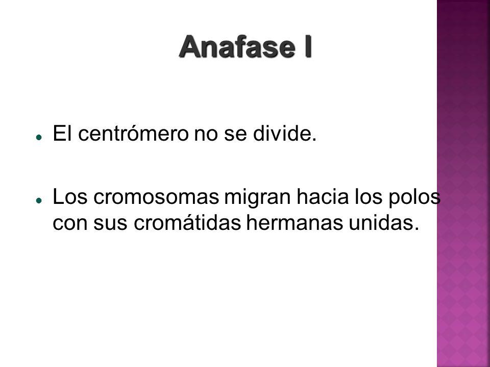 Anafase I El centrómero no se divide. Los cromosomas migran hacia los polos con sus cromátidas hermanas unidas.