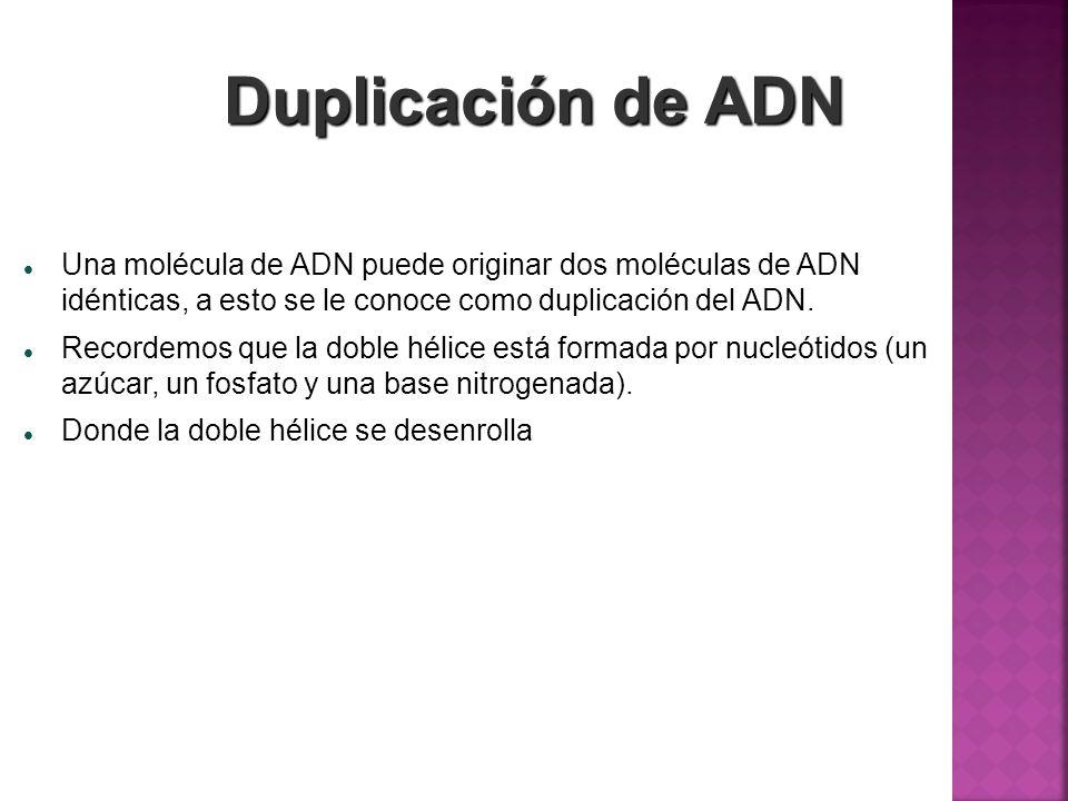 Duplicación de ADN Una molécula de ADN puede originar dos moléculas de ADN idénticas, a esto se le conoce como duplicación del ADN. Recordemos que la