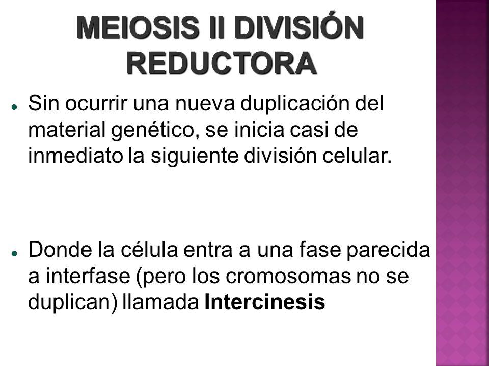 MEIOSIS II DIVISIÓN REDUCTORA Sin ocurrir una nueva duplicación del material genético, se inicia casi de inmediato la siguiente división celular. Dond