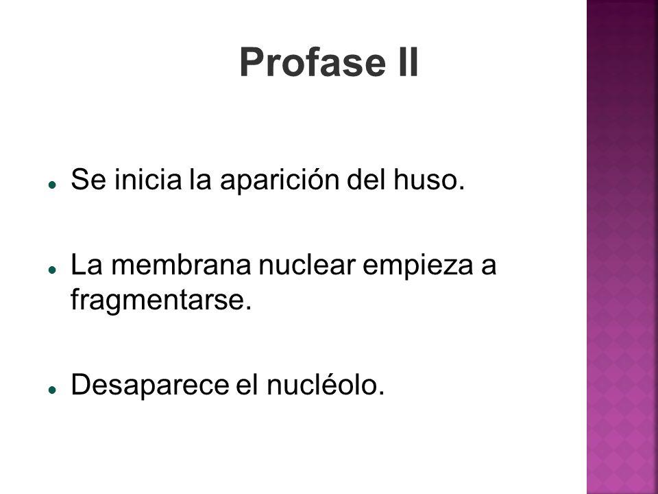 Profase II Se inicia la aparición del huso. La membrana nuclear empieza a fragmentarse. Desaparece el nucléolo.