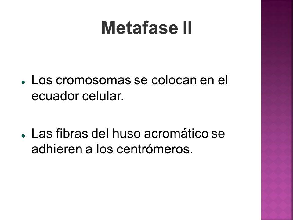 Metafase II Los cromosomas se colocan en el ecuador celular. Las fibras del huso acromático se adhieren a los centrómeros.