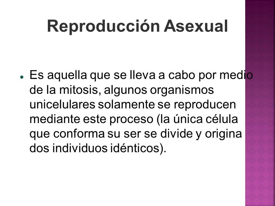 Reproducción Asexual Es aquella que se lleva a cabo por medio de la mitosis, algunos organismos unicelulares solamente se reproducen mediante este pro
