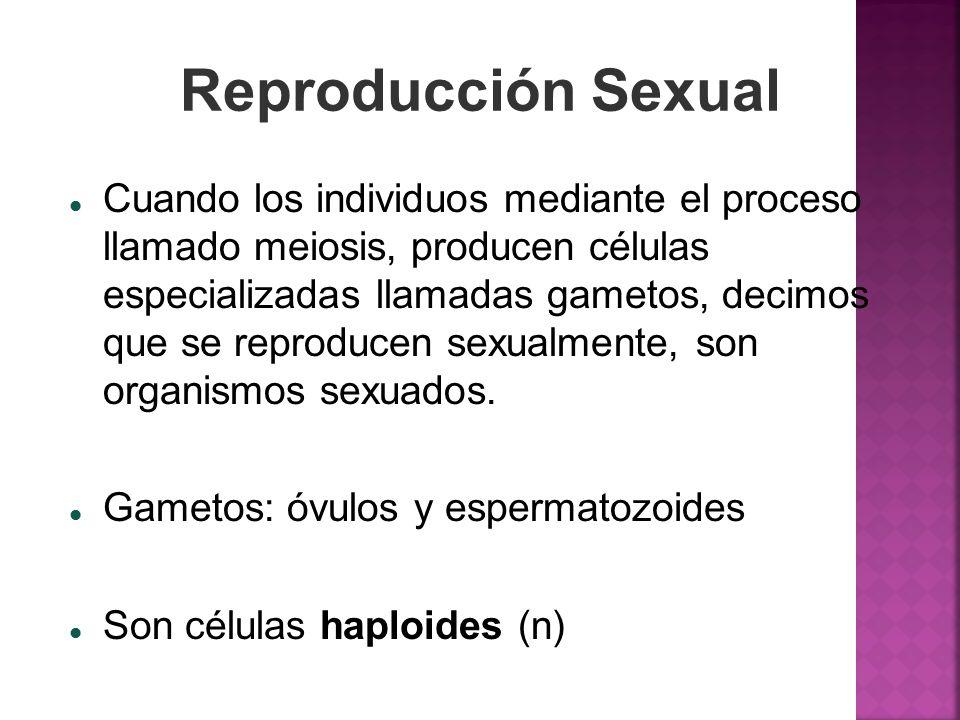 Reproducción Sexual Cuando los individuos mediante el proceso llamado meiosis, producen células especializadas llamadas gametos, decimos que se reprod