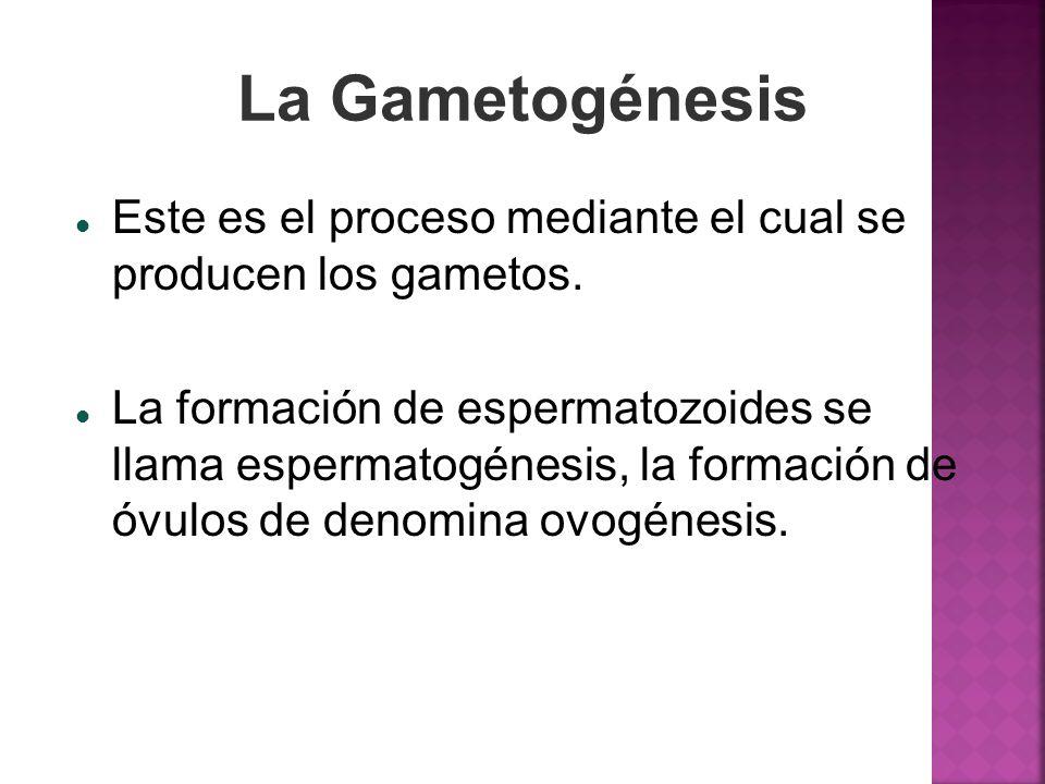 La Gametogénesis Este es el proceso mediante el cual se producen los gametos. La formación de espermatozoides se llama espermatogénesis, la formación