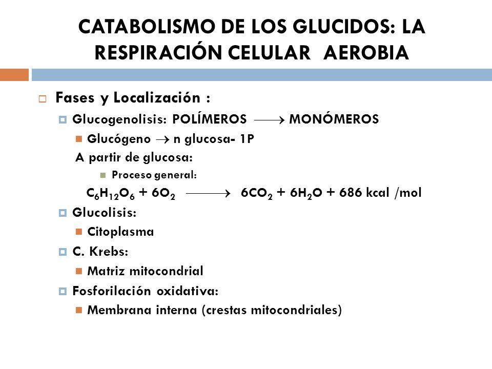 CATABOLISMO DE LOS GLUCIDOS: LA RESPIRACIÓN CELULAR AEROBIA Fases y Localización : Glucogenolisis: POLÍMEROS MONÓMEROS Glucógeno n glucosa- 1P A parti