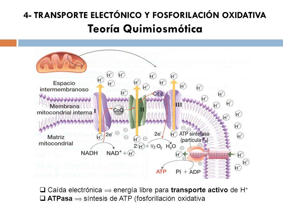 4- TRANSPORTE ELECTÓNICO Y FOSFORILACIÓN OXIDATIVA Teoría Quimiosmótica Caída electrónica energía libre para transporte activo de H + ATPasa síntesis