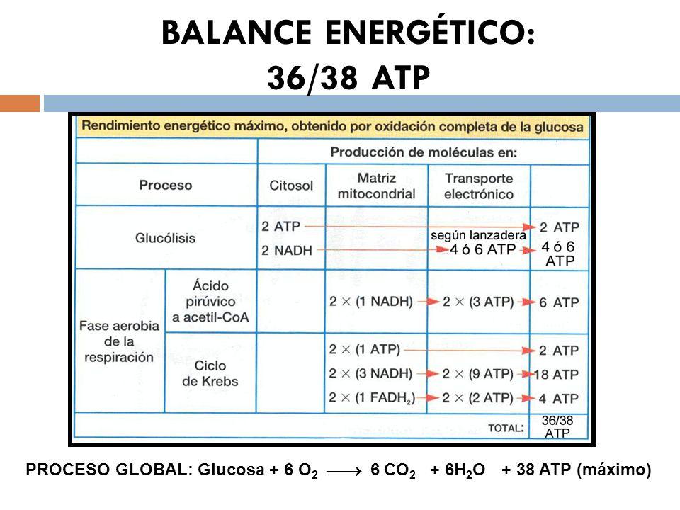 BALANCE ENERGÉTICO: 36/38 ATP PROCESO GLOBAL: Glucosa + 6 O 2 6 CO 2 + 6H 2 O+ 38 ATP (máximo)