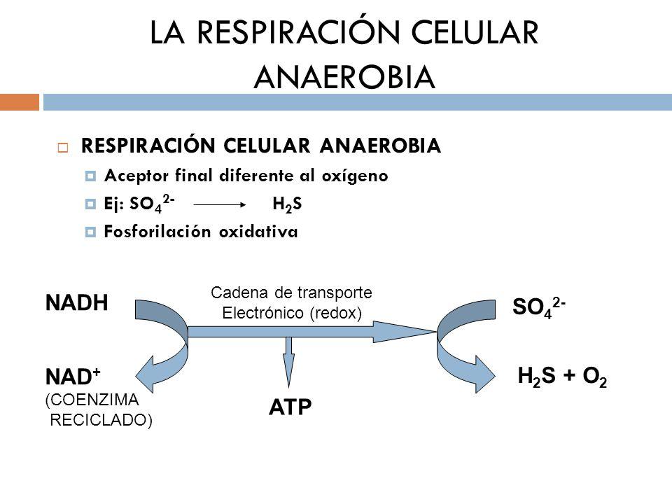 LA RESPIRACIÓN CELULAR ANAEROBIA RESPIRACIÓN CELULAR ANAEROBIA Aceptor final diferente al oxígeno Ej: SO 4 2- H 2 S Fosforilación oxidativa NADH NAD +