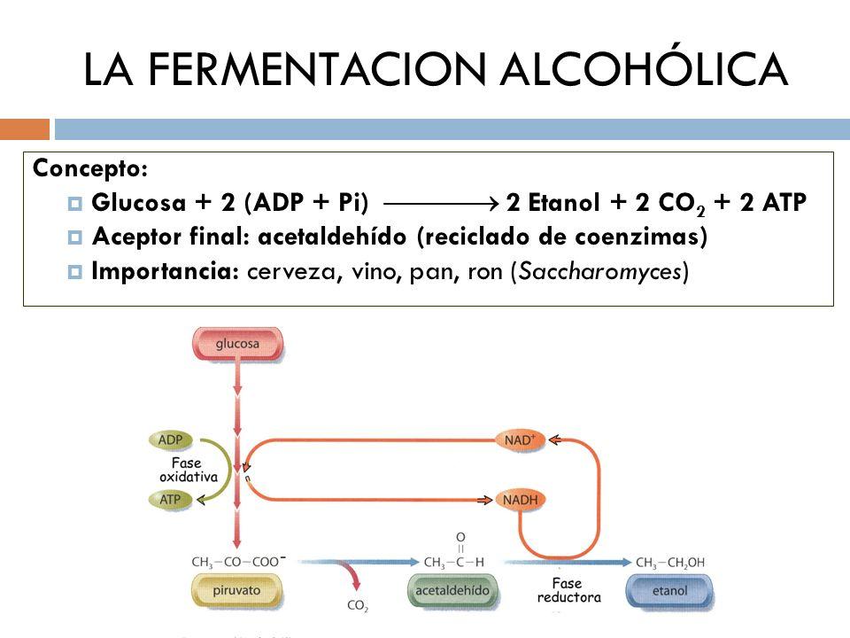 LA FERMENTACION ALCOHÓLICA Concepto: Glucosa + 2 (ADP + Pi) 2 Etanol + 2 CO 2 + 2 ATP Aceptor final: acetaldehído (reciclado de coenzimas) Importancia