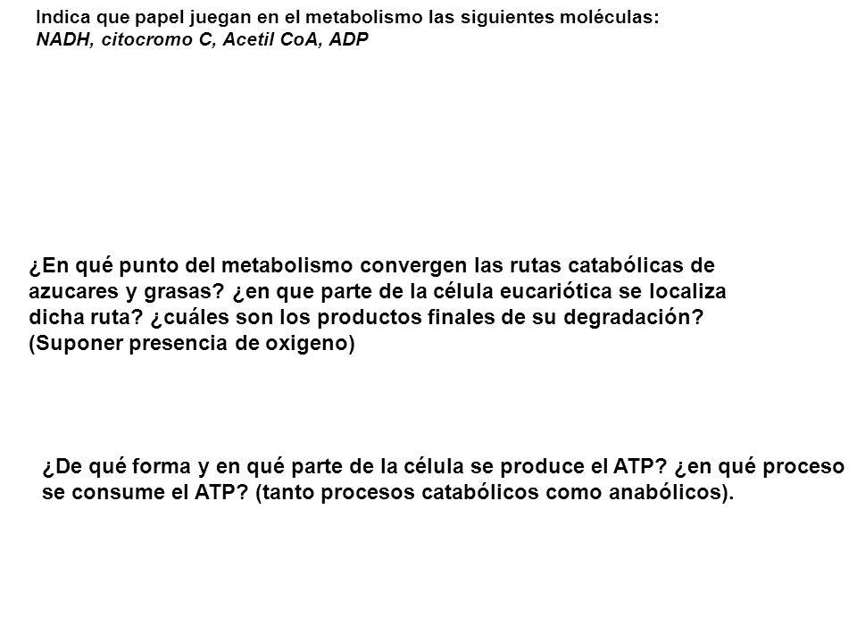 Indica que papel juegan en el metabolismo las siguientes moléculas: NADH, citocromo C, Acetil CoA, ADP ¿En qué punto del metabolismo convergen las rut