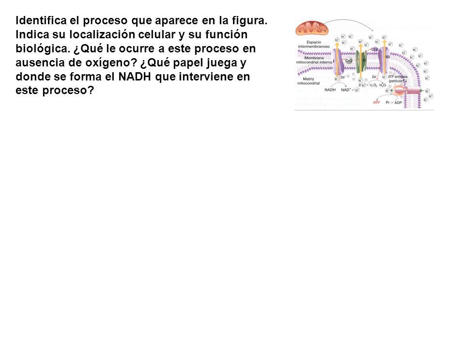 Identifica el proceso que aparece en la figura. Indica su localización celular y su función biológica. ¿Qué le ocurre a este proceso en ausencia de ox