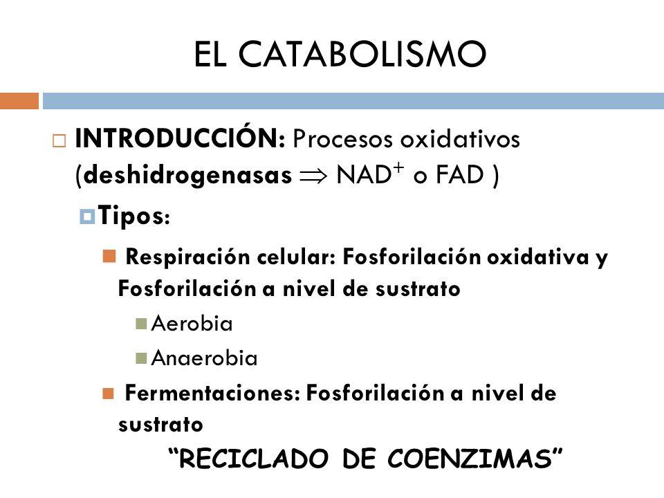 EL CATABOLISMO INTRODUCCIÓN: Procesos oxidativos (deshidrogenasas NAD + o FAD ) Tipos: Respiración celular: Fosforilación oxidativa y Fosforilación a