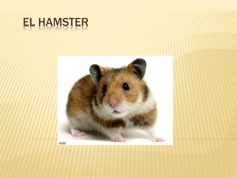 Los Hamsters, al igual que los conejos y los ratones, entre otros animales, son: MAMÍFEROS ROEDORES Son mamíferos porque nacen del vientre de su madre: http://www.youtube.com/watch?v=QTwXP1c1P dw&NR=1 http://www.youtube.com/watch?v=QTwXP1c1P dw&NR=1