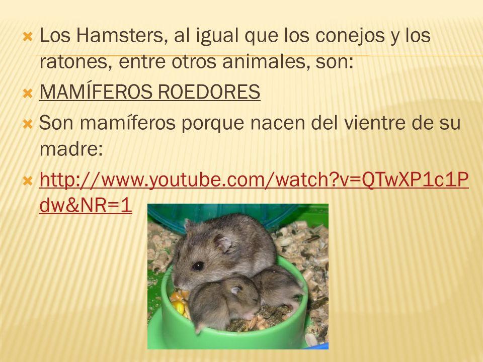 Los Hamsters, al igual que los conejos y los ratones, entre otros animales, son: MAMÍFEROS ROEDORES Son mamíferos porque nacen del vientre de su madre