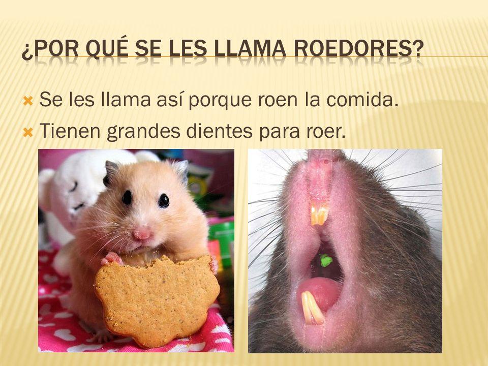 Se les llama así porque roen la comida. Tienen grandes dientes para roer.