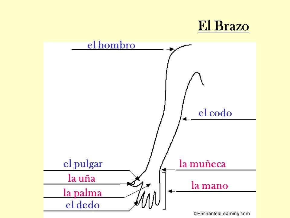 El Brazo la uña el pulgar la palma la muñeca el dedo el codo el hombro la mano
