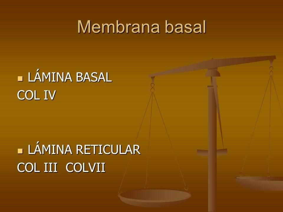 Membrana basal LÁMINA BASAL LÁMINA BASAL COL IV LÁMINA RETICULAR LÁMINA RETICULAR COL III COLVII