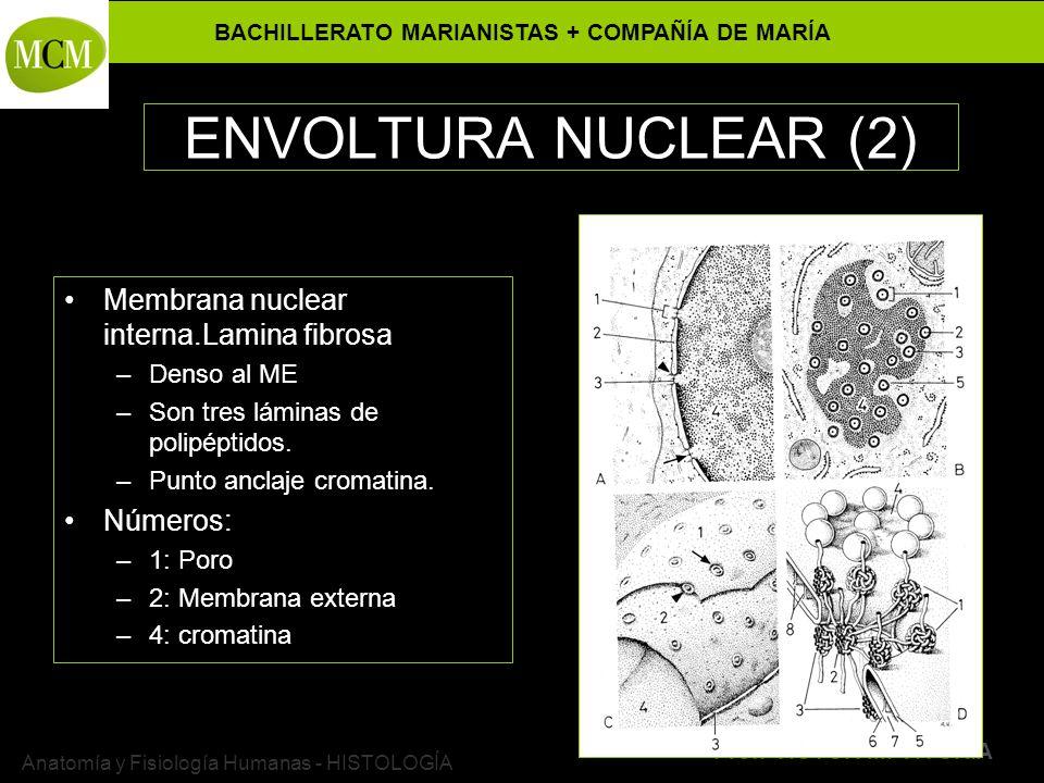 BACHILLERATO MARIANISTAS + COMPAÑÍA DE MARÍA Prof. VÍCTOR M. VITORIA Anatomía y Fisiología Humanas - HISTOLOGÍA ENVOLTURA NUCLEAR (2) Membrana nuclear