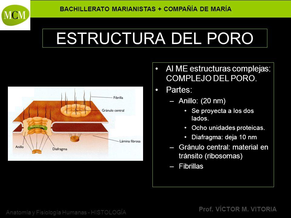 BACHILLERATO MARIANISTAS + COMPAÑÍA DE MARÍA Prof. VÍCTOR M. VITORIA Anatomía y Fisiología Humanas - HISTOLOGÍA ESTRUCTURA DEL PORO Al ME estructuras