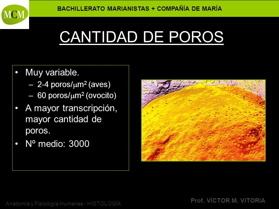 BACHILLERATO MARIANISTAS + COMPAÑÍA DE MARÍA Prof. VÍCTOR M. VITORIA Anatomía y Fisiología Humanas - HISTOLOGÍA CANTIDAD DE POROS Muy variable. –2-4 p