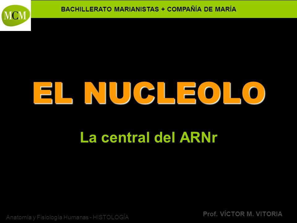 BACHILLERATO MARIANISTAS + COMPAÑÍA DE MARÍA Prof. VÍCTOR M. VITORIA Anatomía y Fisiología Humanas - HISTOLOGÍA EL NUCLEOLO La central del ARNr