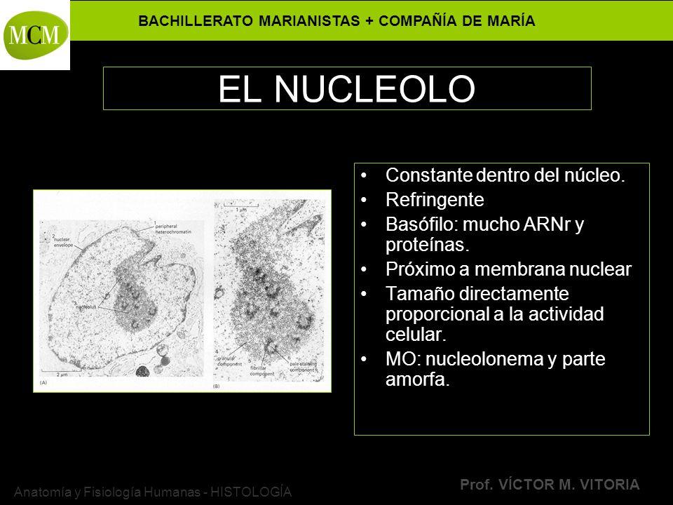 BACHILLERATO MARIANISTAS + COMPAÑÍA DE MARÍA Prof. VÍCTOR M. VITORIA Anatomía y Fisiología Humanas - HISTOLOGÍA EL NUCLEOLO Constante dentro del núcle