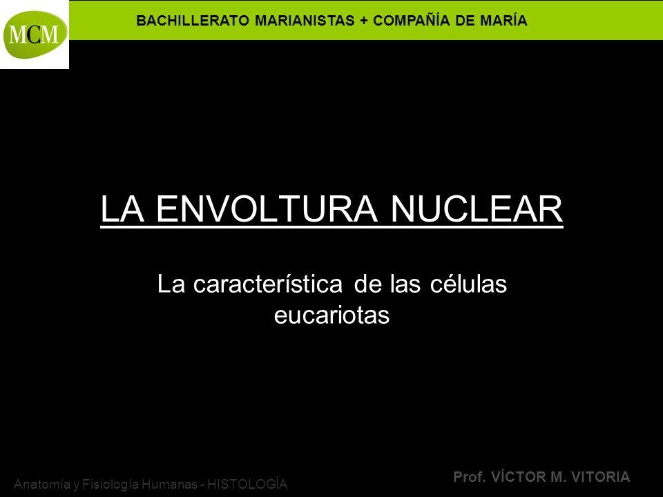 BACHILLERATO MARIANISTAS + COMPAÑÍA DE MARÍA Prof. VÍCTOR M. VITORIA Anatomía y Fisiología Humanas - HISTOLOGÍA LA ENVOLTURA NUCLEAR La característica