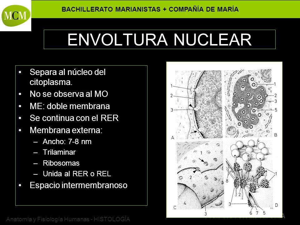 BACHILLERATO MARIANISTAS + COMPAÑÍA DE MARÍA Prof. VÍCTOR M. VITORIA Anatomía y Fisiología Humanas - HISTOLOGÍA ENVOLTURA NUCLEAR Separa al núcleo del