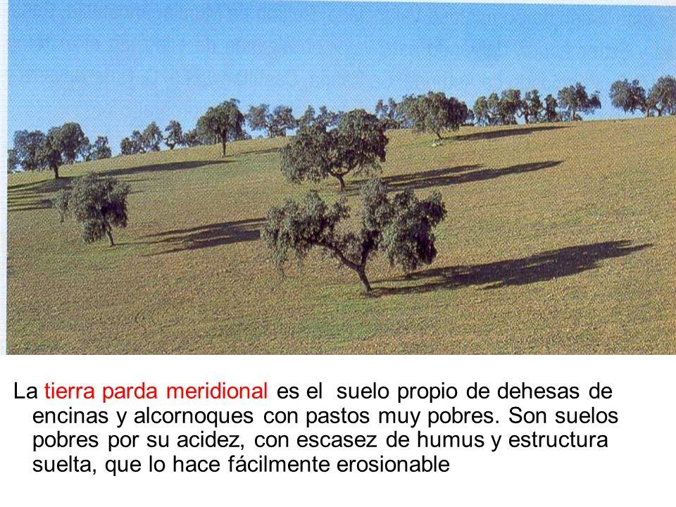 La tierra parda meridional es el suelo propio de dehesas de encinas y alcornoques con pastos muy pobres. Son suelos pobres por su acidez, con escasez