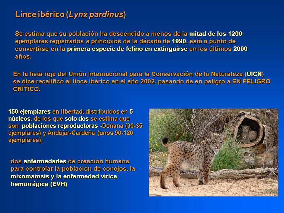 Lince ibérico (Lynx pardinus) 150 ejemplares en libertad, distribuidos en 5 núcleos, de los que solo dos se estima que son poblaciones reproductoras -