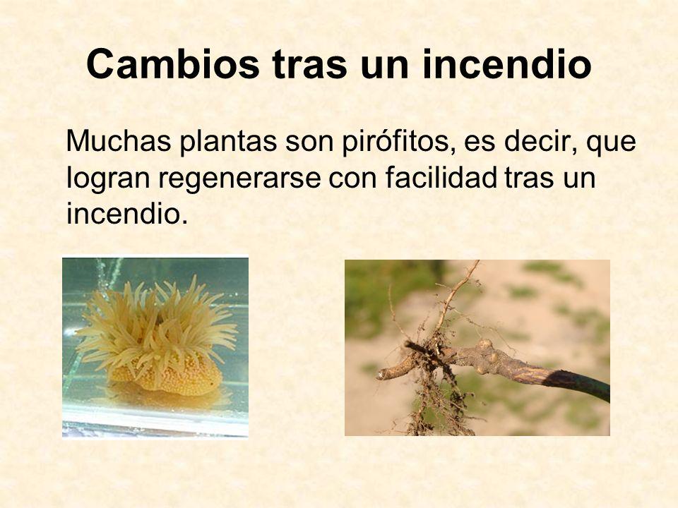 Cambios tras un incendio Muchas plantas son pirófitos, es decir, que logran regenerarse con facilidad tras un incendio.