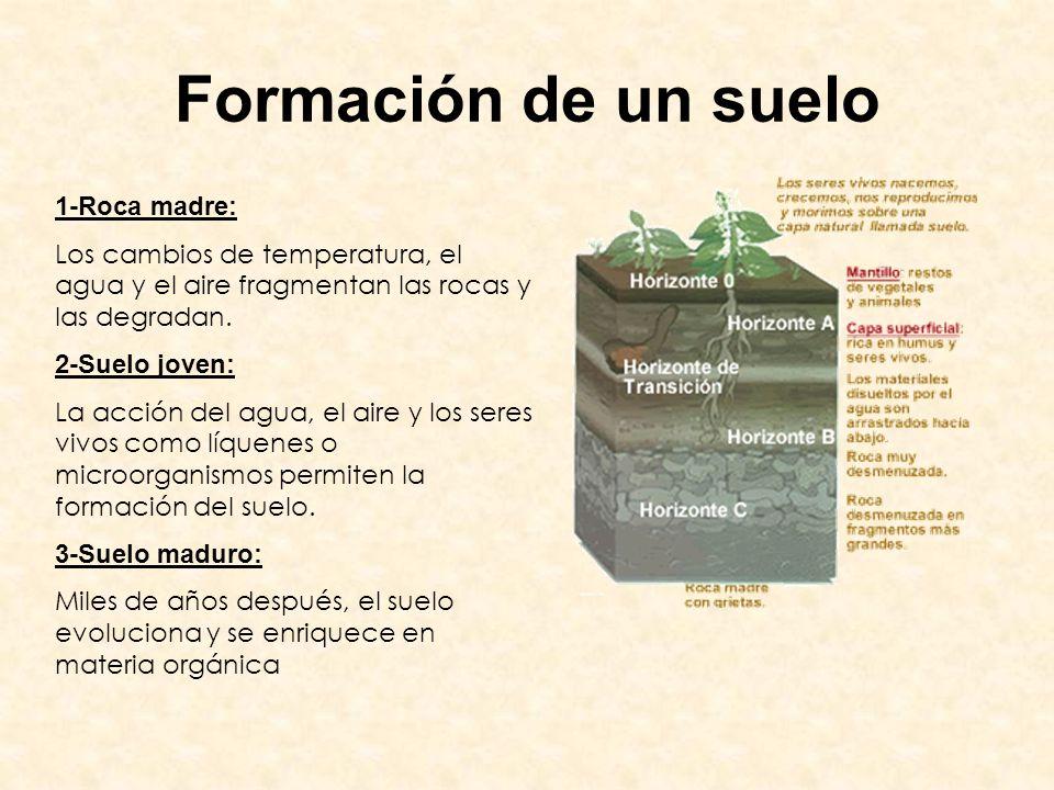 Formación de un suelo 1-Roca madre: Los cambios de temperatura, el agua y el aire fragmentan las rocas y las degradan. 2-Suelo joven: La acción del ag