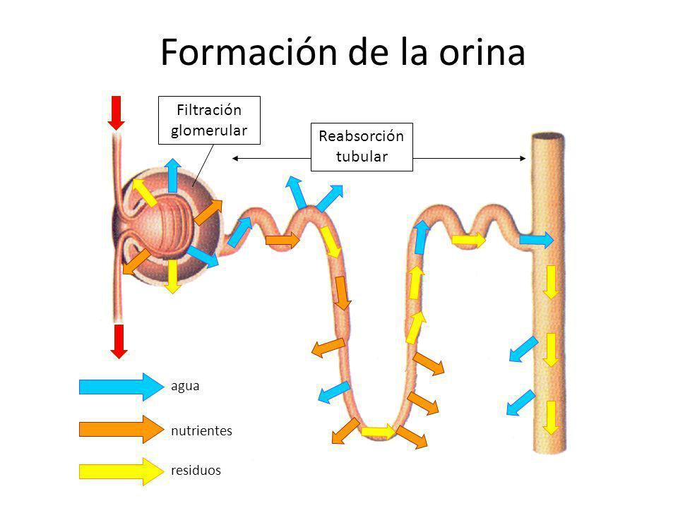 Formación de la orina agua residuos nutrientes Reabsorción tubular Filtración glomerular