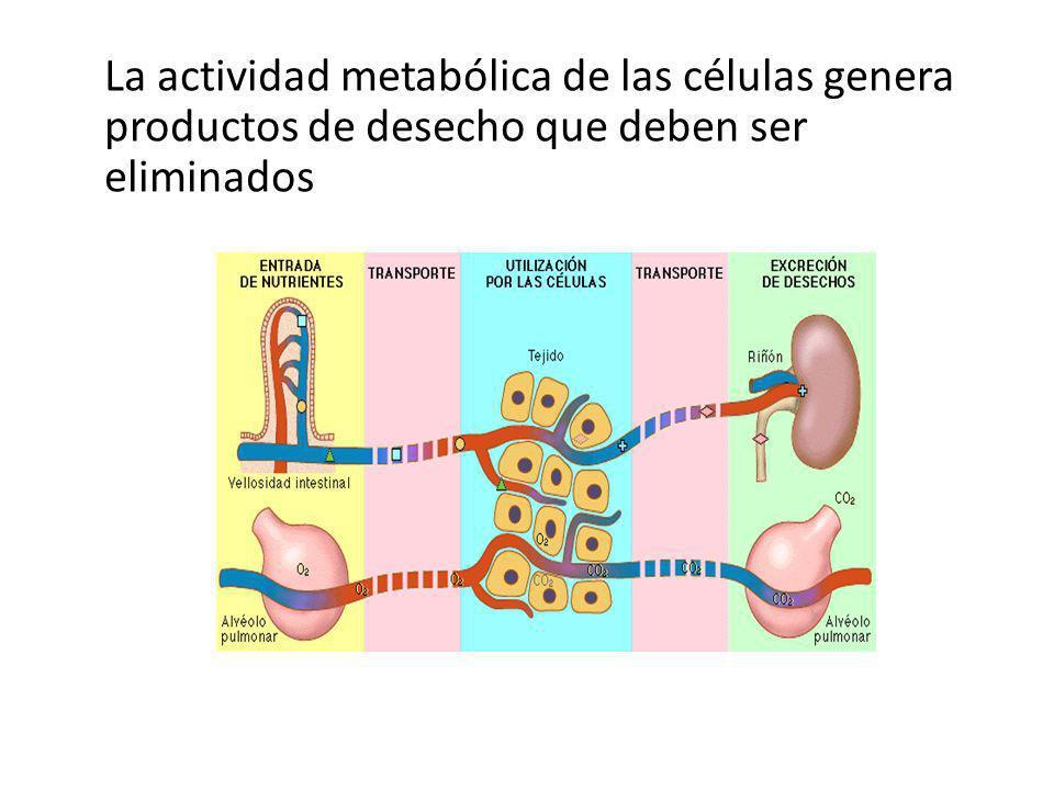 La actividad metabólica de las células genera productos de desecho que deben ser eliminados