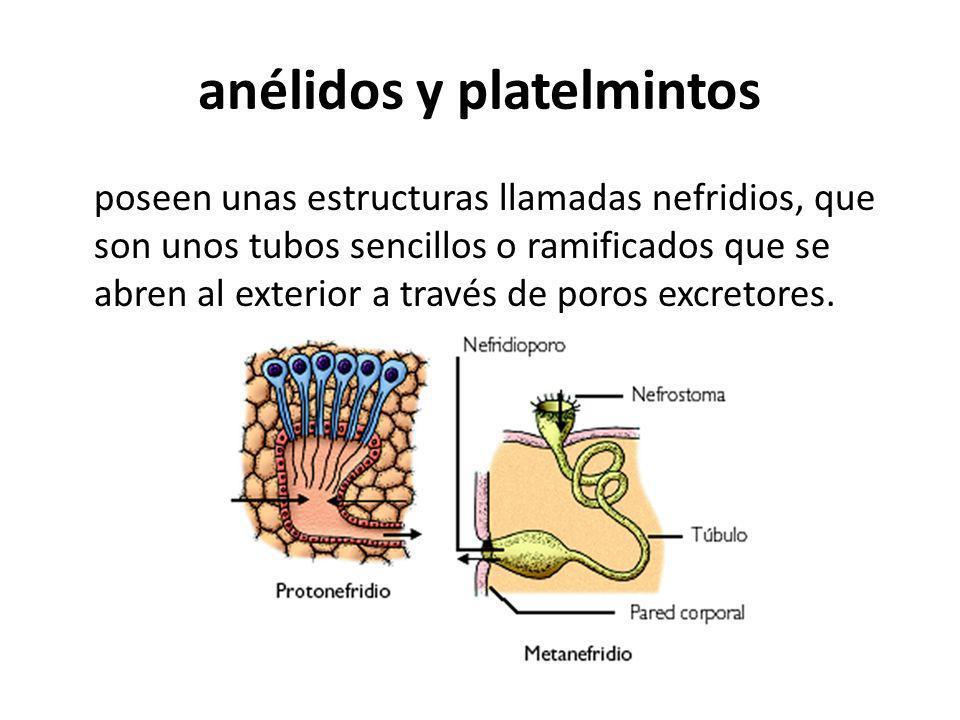 anélidos y platelmintos poseen unas estructuras llamadas nefridios, que son unos tubos sencillos o ramificados que se abren al exterior a través de po