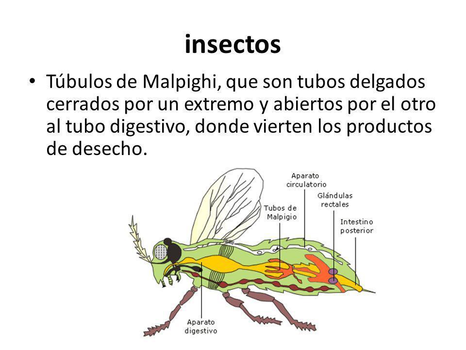 insectos Túbulos de Malpighi, que son tubos delgados cerrados por un extremo y abiertos por el otro al tubo digestivo, donde vierten los productos de