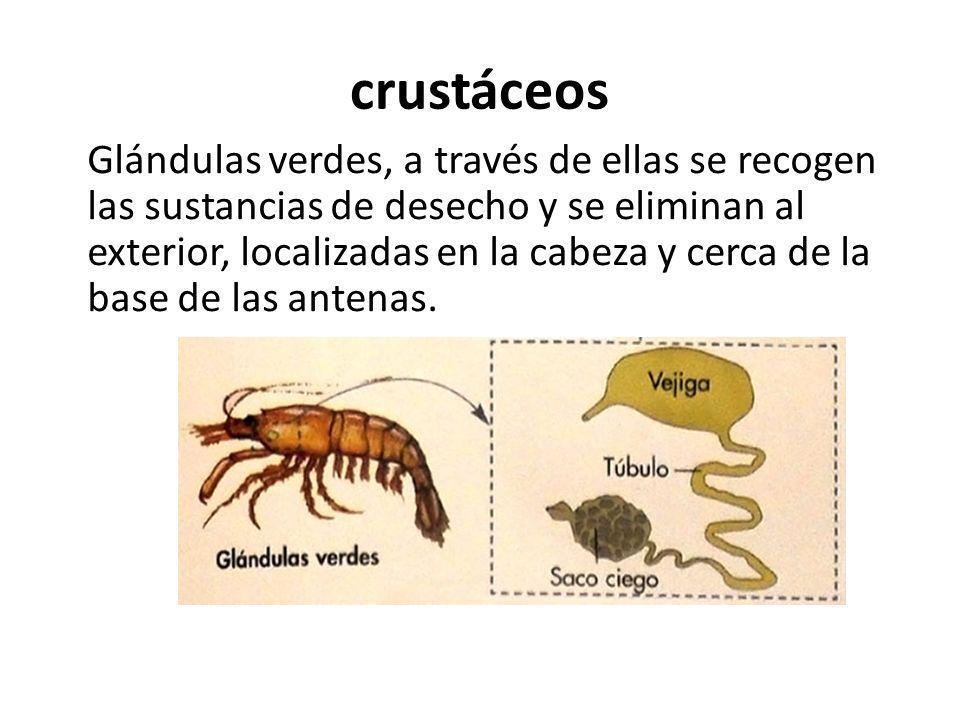 crustáceos Glándulas verdes, a través de ellas se recogen las sustancias de desecho y se eliminan al exterior, localizadas en la cabeza y cerca de la