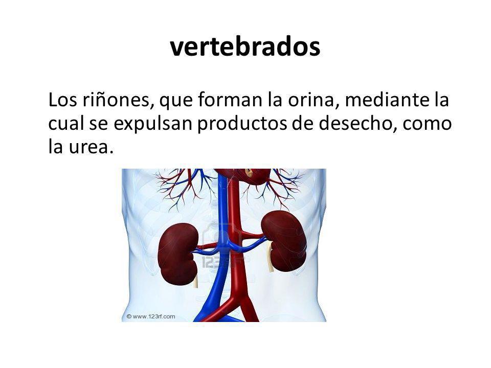 vertebrados Los riñones, que forman la orina, mediante la cual se expulsan productos de desecho, como la urea.
