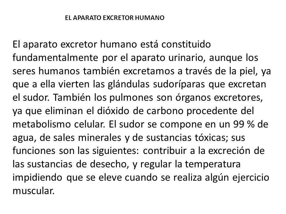 EL APARATO EXCRETOR HUMANO El aparato excretor humano está constituido fundamentalmente por el aparato urinario, aunque los seres humanos también excr