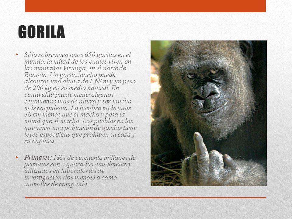 GORILA Sólo sobreviven unos 650 gorilas en el mundo, la mitad de los cuales viven en las montañas Virunga, en el norte de Ruanda. Un gorila macho pued