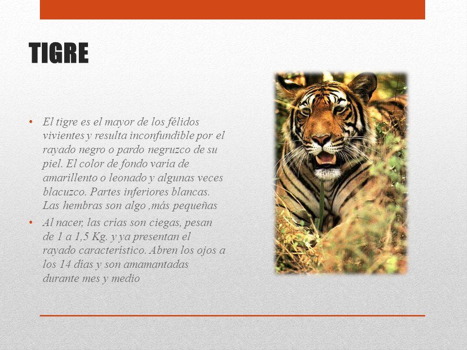 TIGRE El tigre es el mayor de los félidos vivientes y resulta inconfundible por el rayado negro o pardo negruzco de su piel. El color de fondo varía d