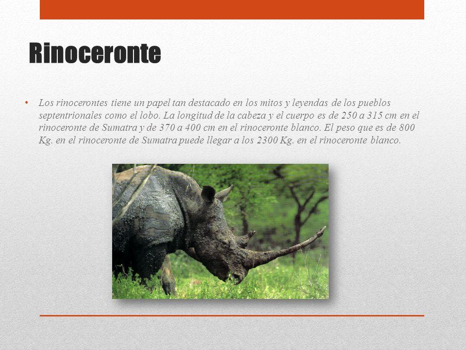 Rinoceronte Los rinocerontes tiene un papel tan destacado en los mitos y leyendas de los pueblos septentrionales como el lobo. La longitud de la cabez