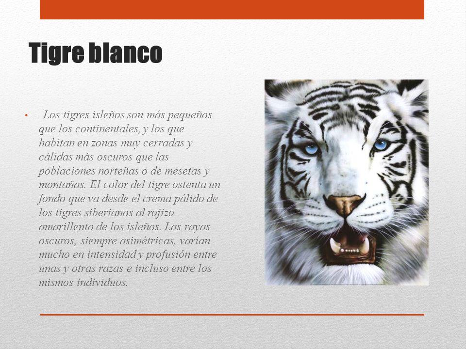 Tigre blanco Los tigres isleños son más pequeños que los continentales, y los que habitan en zonas muy cerradas y cálidas más oscuros que las poblacio