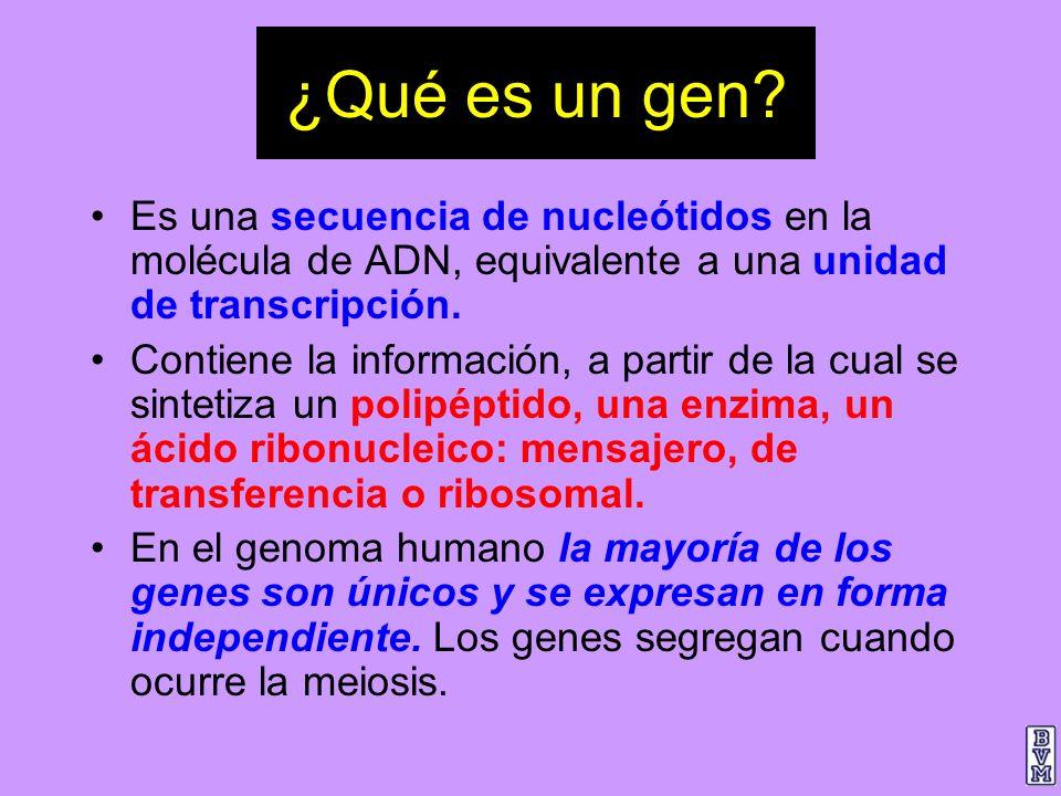 ¿Qué es un gen? Es una secuencia de nucleótidos en la molécula de ADN, equivalente a una unidad de transcripción. Contiene la información, a partir de